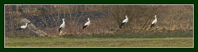 storks near Viscri